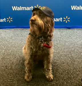 A service dog wearing a collar with a red bone around it, standing on a speckled carpet in front of a screen with the Walmart logo.